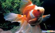 怎么防止金鱼长寄生虫(图)