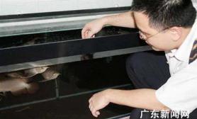 汕头口岸首次进口观赏红龙鱼(图)