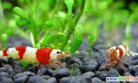 水晶虾的饲养方法(图)