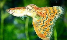 孔雀鱼幼鱼饲养方法(图)