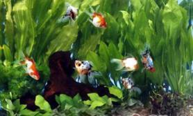 金鱼缸的水草布置建议