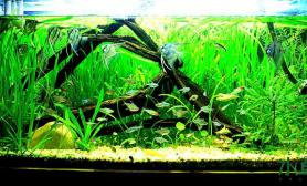 水草造景草缸仙子