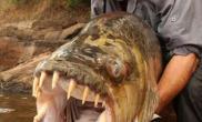 """英男子在非洲历时八日捉到重达百磅""""巨型水虎鱼""""(多图)"""