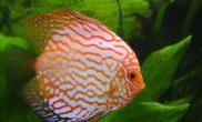 热带鱼疾病早发现:观察鱼体(多图)