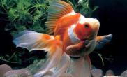 财神鱼健康生长需要怎样的环境(图)