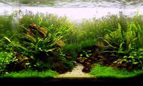 80CM水草缸细叶铁小三角水族宫廷做后景迷你矮前景草