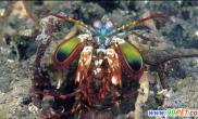 凶猛程度让人望而生畏英渔民捕捉到罕见螳螂虾(图)