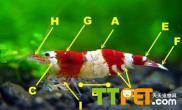 新手选购水晶虾的方法