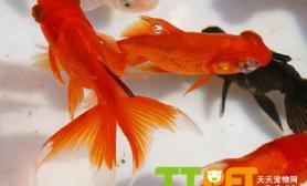 怎样使金鱼体色鲜艳