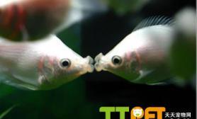 接吻鱼品种资料简介