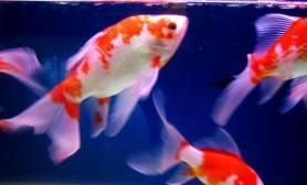 饲养草金鱼的饵料的种类有哪些(图)