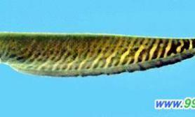 奇特的斑马鳗(图)