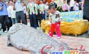 深圳惊现823斤石斑超大体型要四名厨师料理(图)