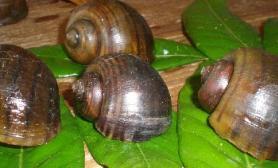 观赏螺品种介绍