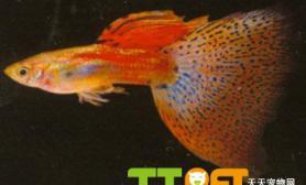 孔雀鱼的草尾系说明