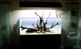 简单原生神仙缸水草缸三块沉木搭建而成