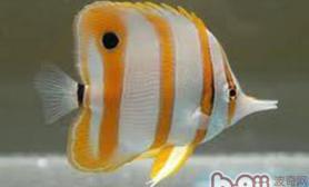 铁嘴鱼的外形特点