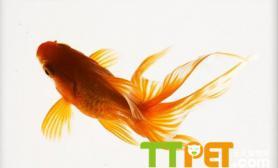 方法技巧金鱼怎么养金鱼好养吗