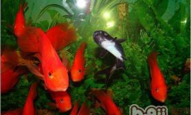关于鹦鹉鱼的品种类型及其特征