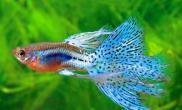 孔雀鱼为什么吃小鱼什么原因