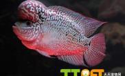 鉴别罗汉鱼品种的标准