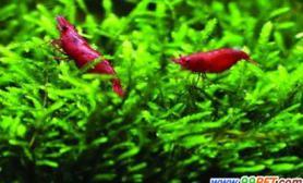 龙年养龙虾宠物市场龙字辈走红(图)