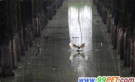 鸟儿每天吃数百公斤鱼村民被逼外出打工(图)