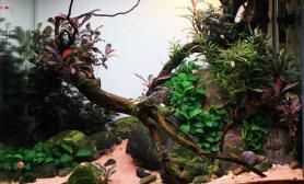 50纯椒榕小缸半年的变化水草缸貌似沉木杜鹃根青龙石水草泥