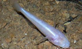 盲鱼的外形特点