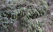 植物原生境游历记录05(水龙骨属)