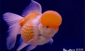 金鱼吃东西后又吐出来是怎么回事