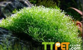 鹿角苔怎么栽培和种植