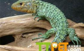 秘鲁鳄鱼蜥的介绍