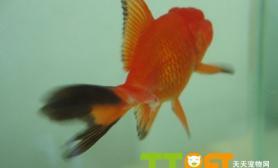 金鱼烂尾病的预防和治疗方法