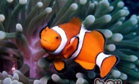 透红小丑鱼的外形特点
