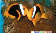 台研究人员成功繁殖小丑鱼(图)
