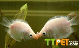 经验鱼缸养水方法步骤