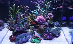 杀鱼凶手60方缸海水缸