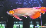 这条龙鱼很金贵身价36万元人民币(图)