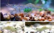 全身透明、可见内脏的幽灵虾(图)