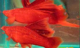 图红剑鱼怎么分公母