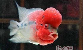 给罗汉鱼喂食虾的好处