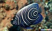 海中亦有神仙介绍几种美丽的咸水观赏鱼(图)