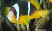 黄金条鱼的饲养注意事项