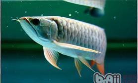 饲养大型观赏鱼需注意少食多餐
