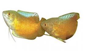 黄曼龙鱼的喂食要点