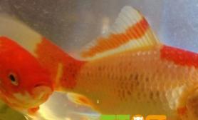 金鱼身上长黑斑怎么办什么原因
