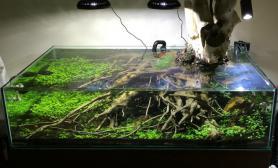 矮缸老树盘根120CM缸水草作品