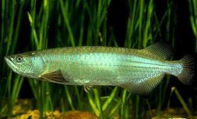 澳洲星点龙鱼常见的疾病及预防(图)