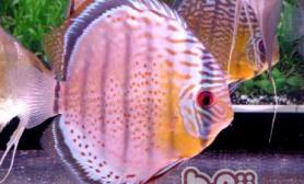 神仙鱼的养殖方法